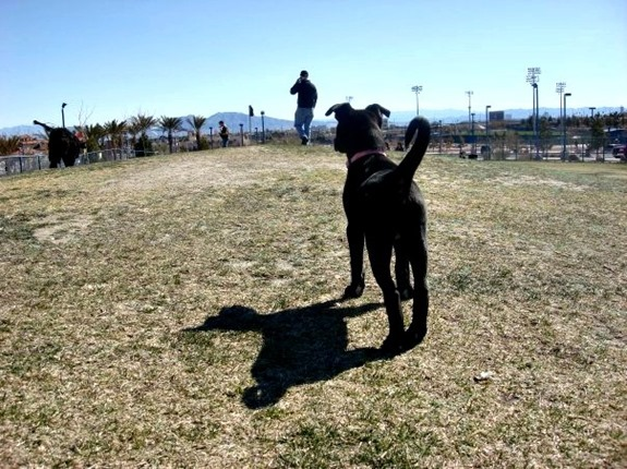 Cute black lab puppy at the dog park