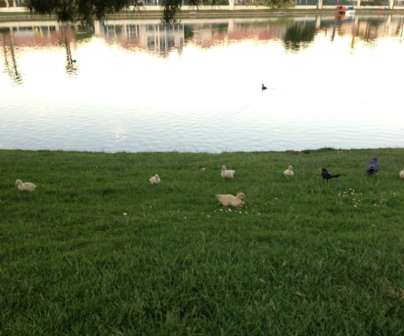 Family of baby ducks at Desert Shores Las Vegas
