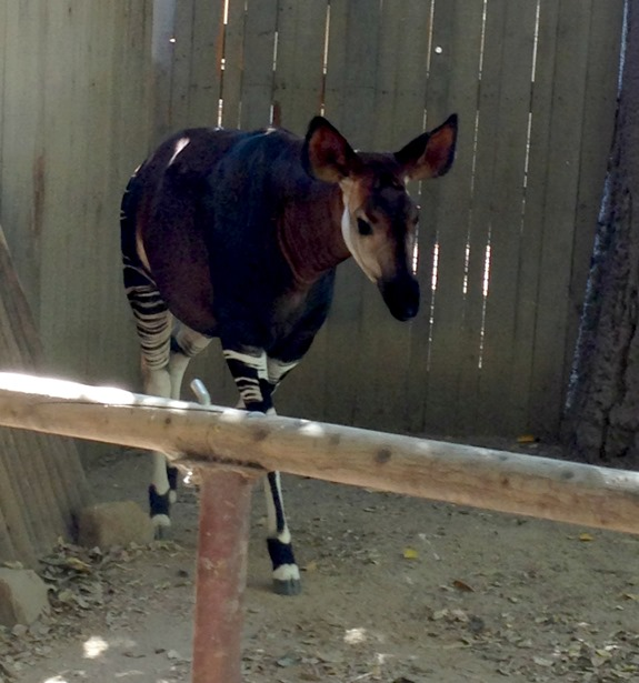 Okapi at San Diego Zoo Safari Park
