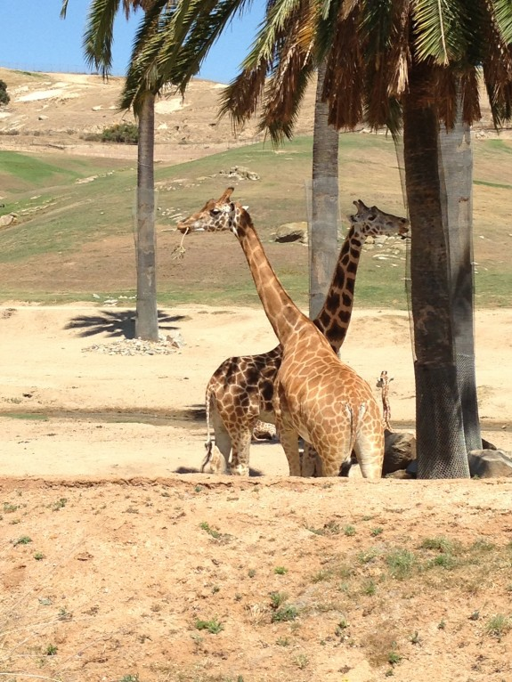 San Diego Zoo Safari Park Giraffes Close Up