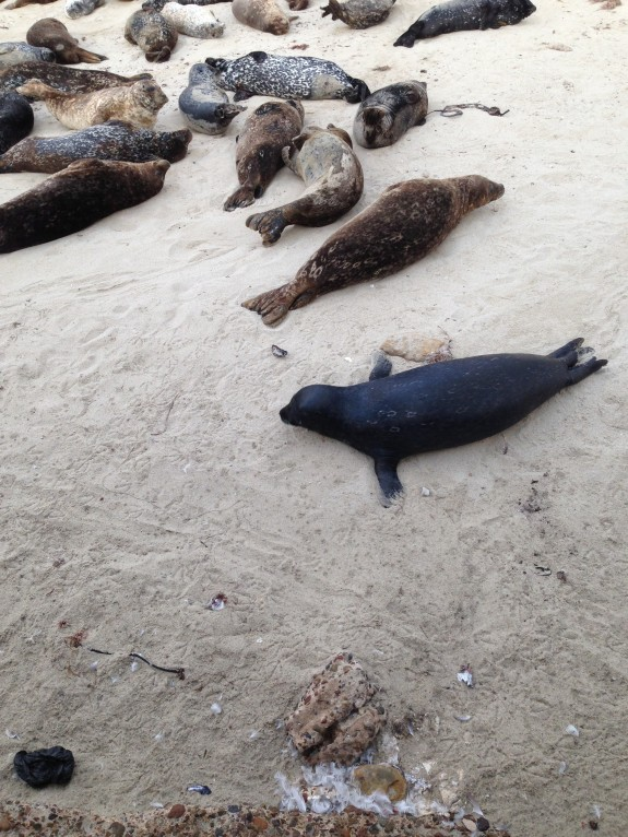 seal at la jolla children's pool San Diego california
