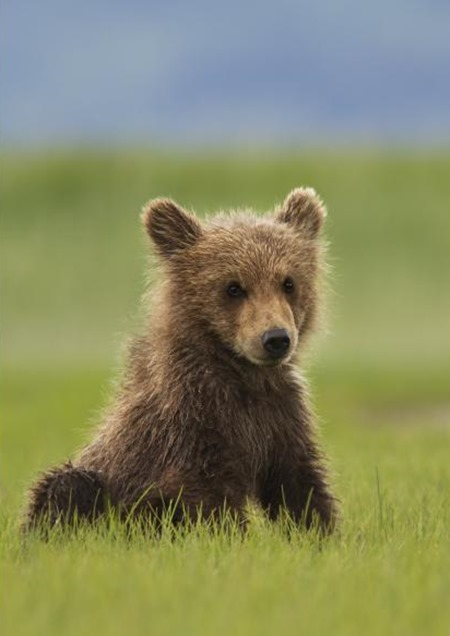 Disneynature's Bears Cub