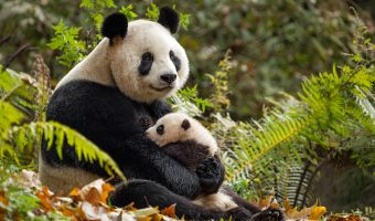Disneynature's Born In China Review