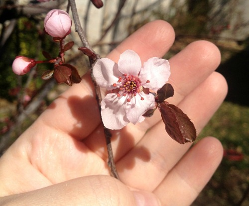 First cherry blossoms