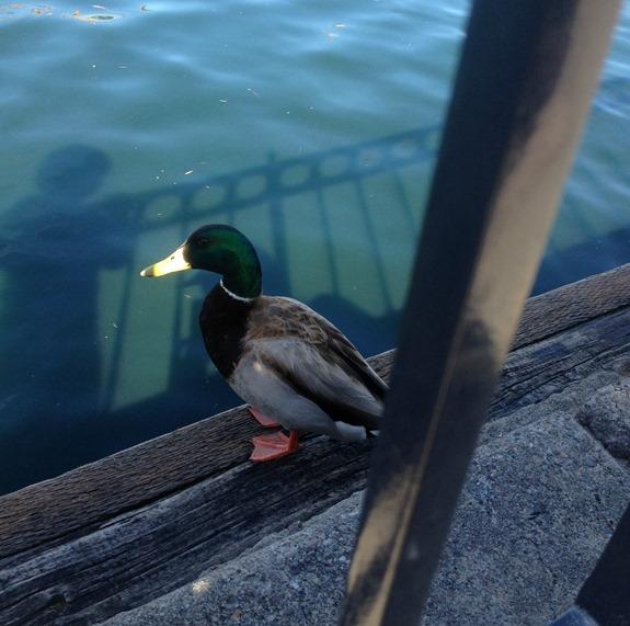 Ducks at Disneyland