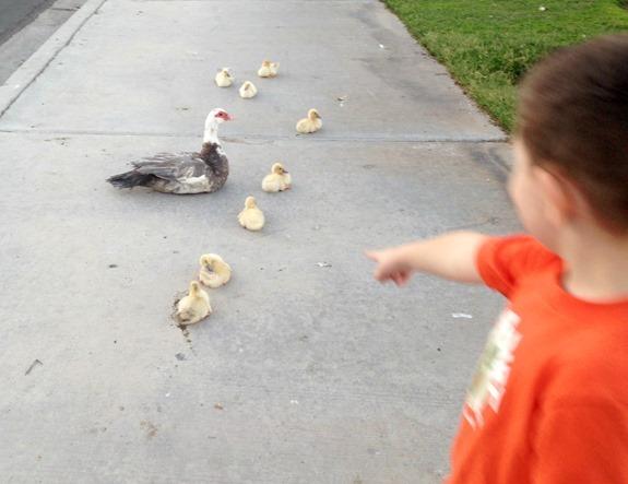 Baby ducks taking a bath