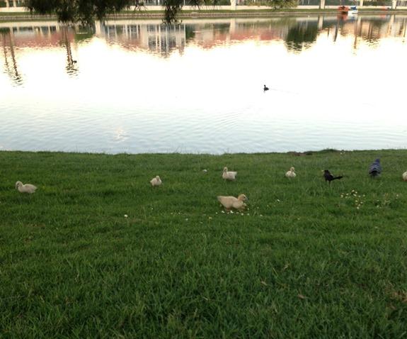 Family of baby ducks at Desert Shores Las Vegas