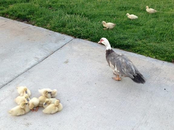 Mama Duck & her ducklings