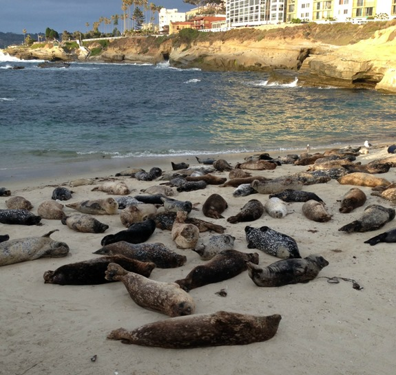 Seals Resting at La Jolla Children's Pool