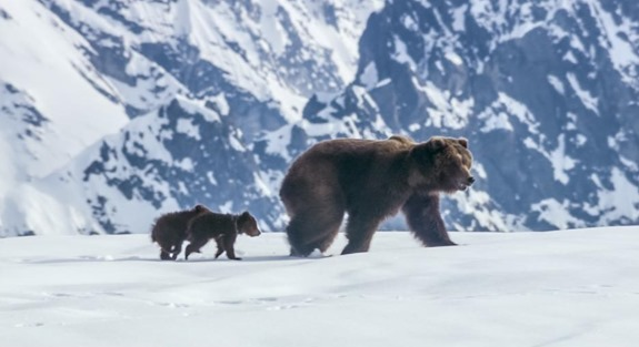 Disneynature Bears still