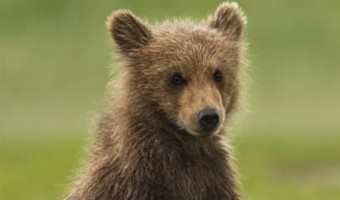 Disneynature's Bears in Theaters Today! {Free Printable Activity Kit}