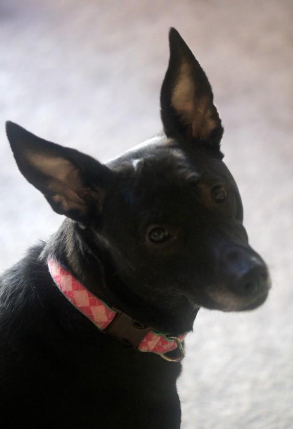Bella Notte loves her Milk-Bone Brushing Chews!