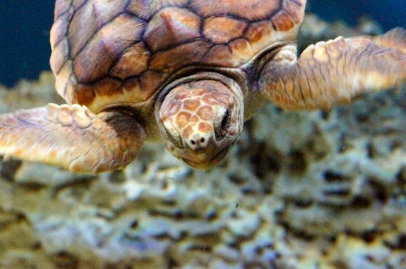 Baby Sea Turtle at Monterey Bay Aquarium