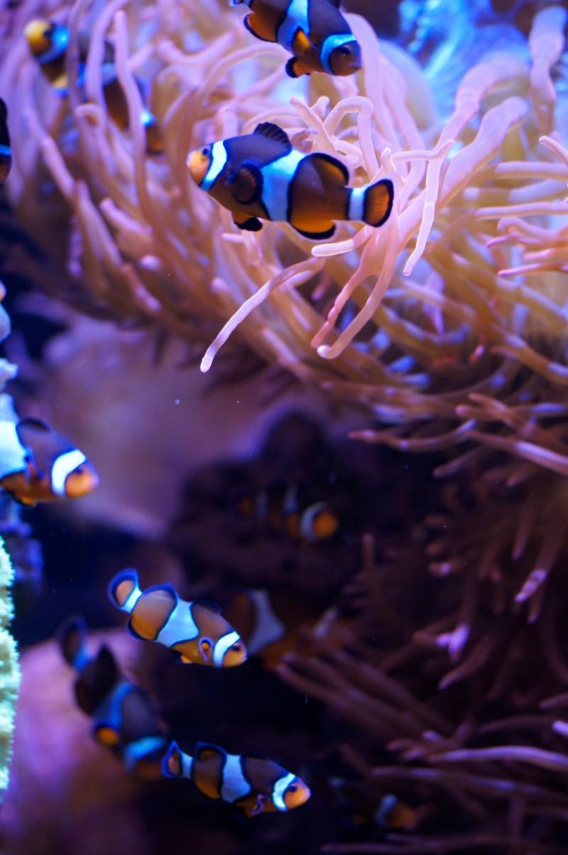 Clownfish at Monterey Bay Aquarium
