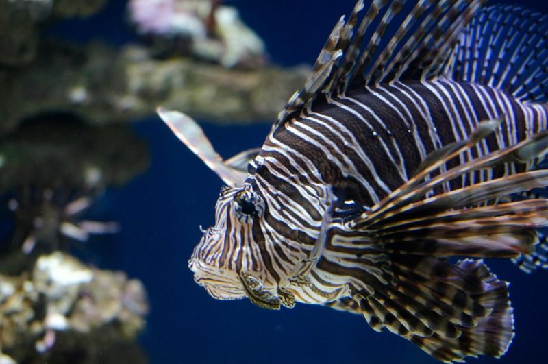 Lion Fish at Monterey Bay Aquarium