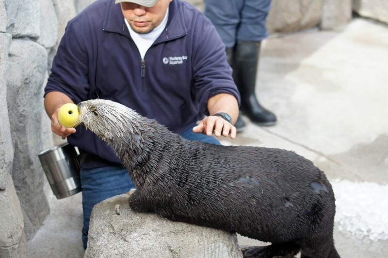 Sea Otter Training at Monterey Bay Aquarium