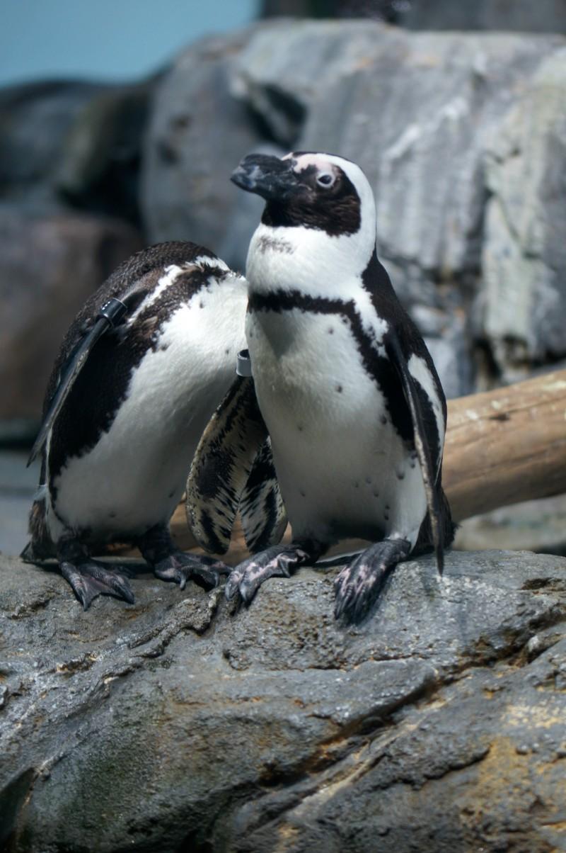 Penguins at Monterey Bay Aquarium