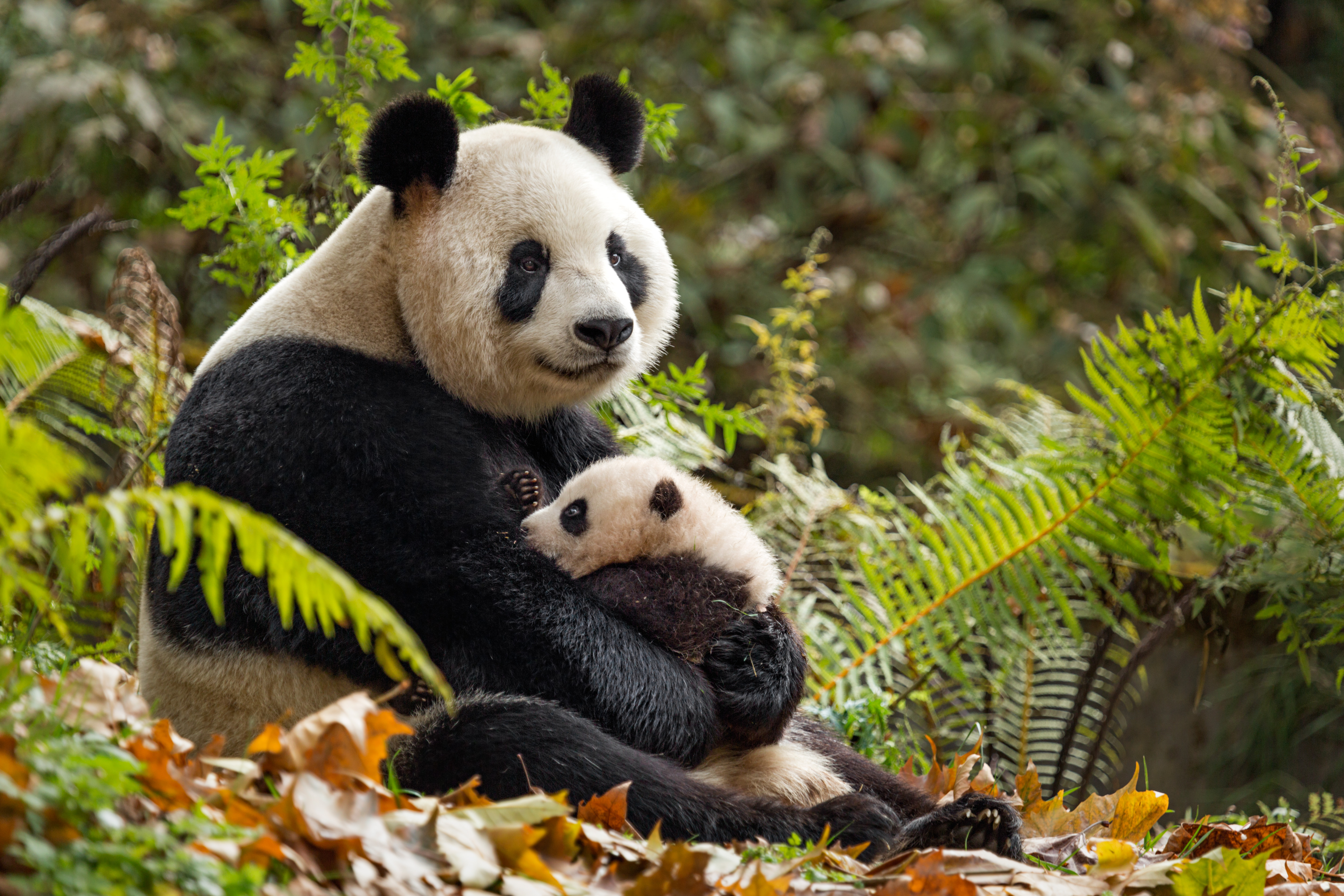 Disneynature's Born In China Review - {Not Quite} Susie